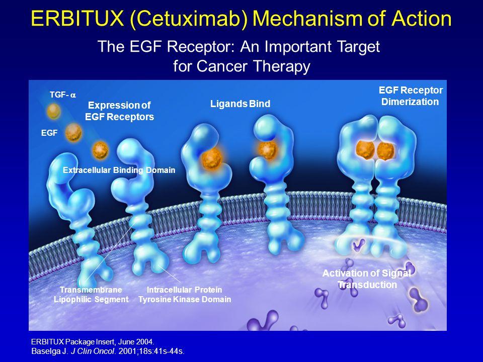 ERBITUX (Cetuximab) Mechanism of Action The EGF Receptor: An Important Target for Cancer Therapy Expression of EGF Receptors Ligands Bind EGF Receptor