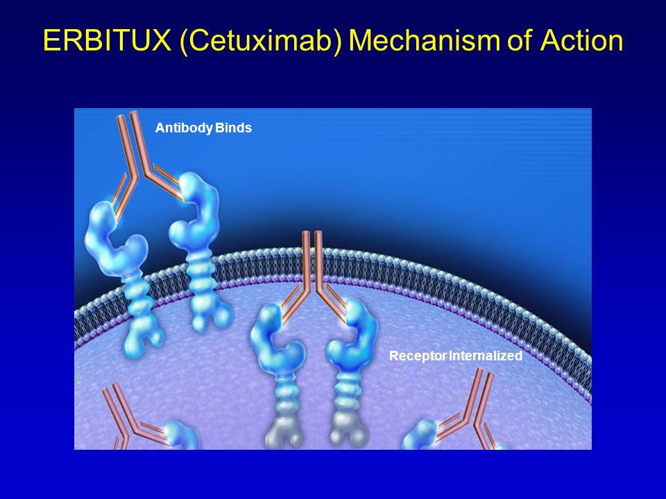 ERBITUX (Cetuximab) Mechanism of Action Antibody Binds Receptor Internalized