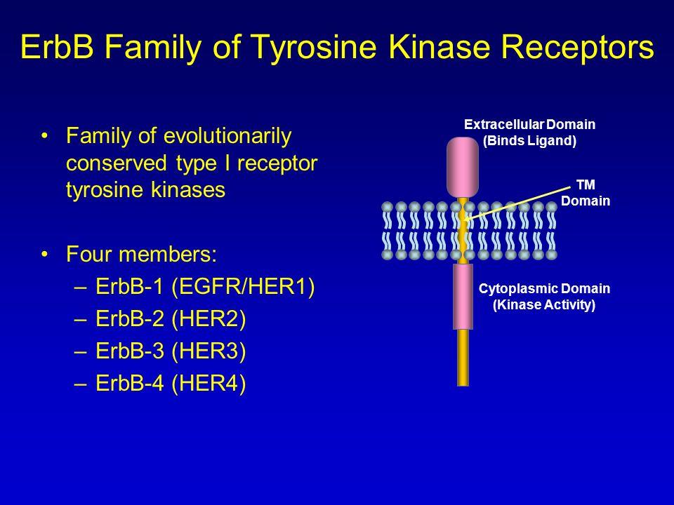 ErbB Family of Tyrosine Kinase Receptors Family of evolutionarily conserved type I receptor tyrosine kinases Four members: –ErbB-1 (EGFR/HER1) –ErbB-2