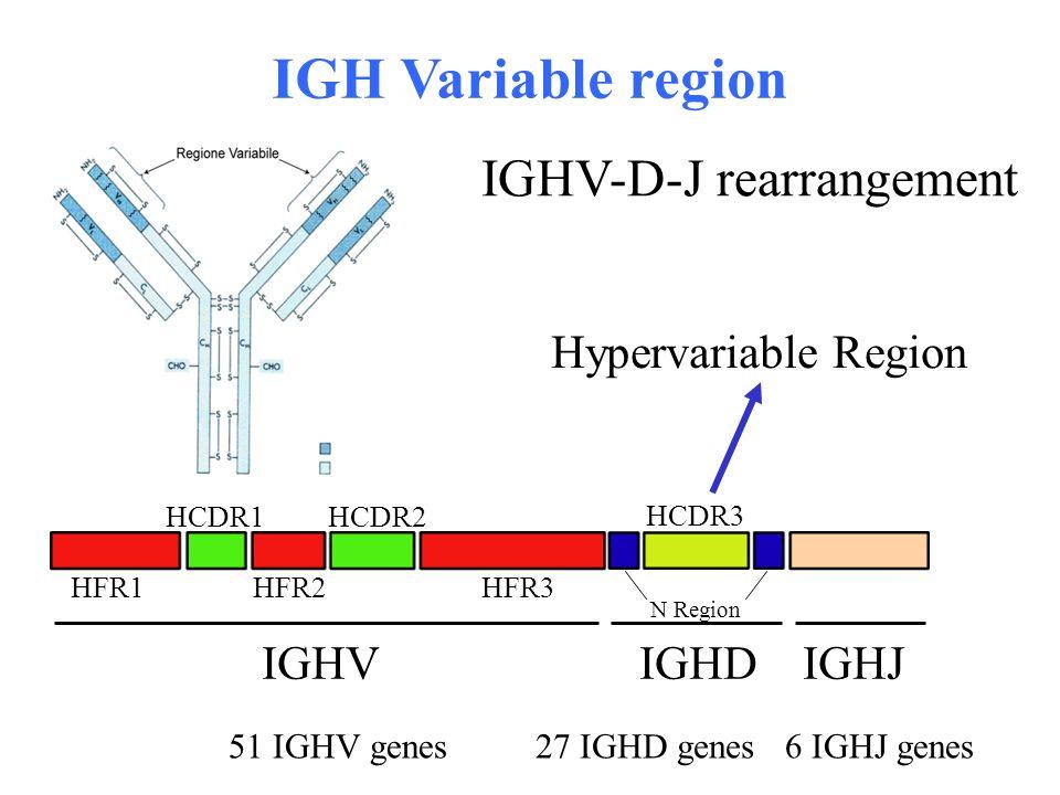 IGHV-D-J rearrangement HFR1HFR2HFR3 HCDR1HCDR2 HCDR3 IGHVIGHJIGHD N Region Hypervariable Region IGH Variable region 51 IGHV genes27 IGHD genes6 IGHJ g