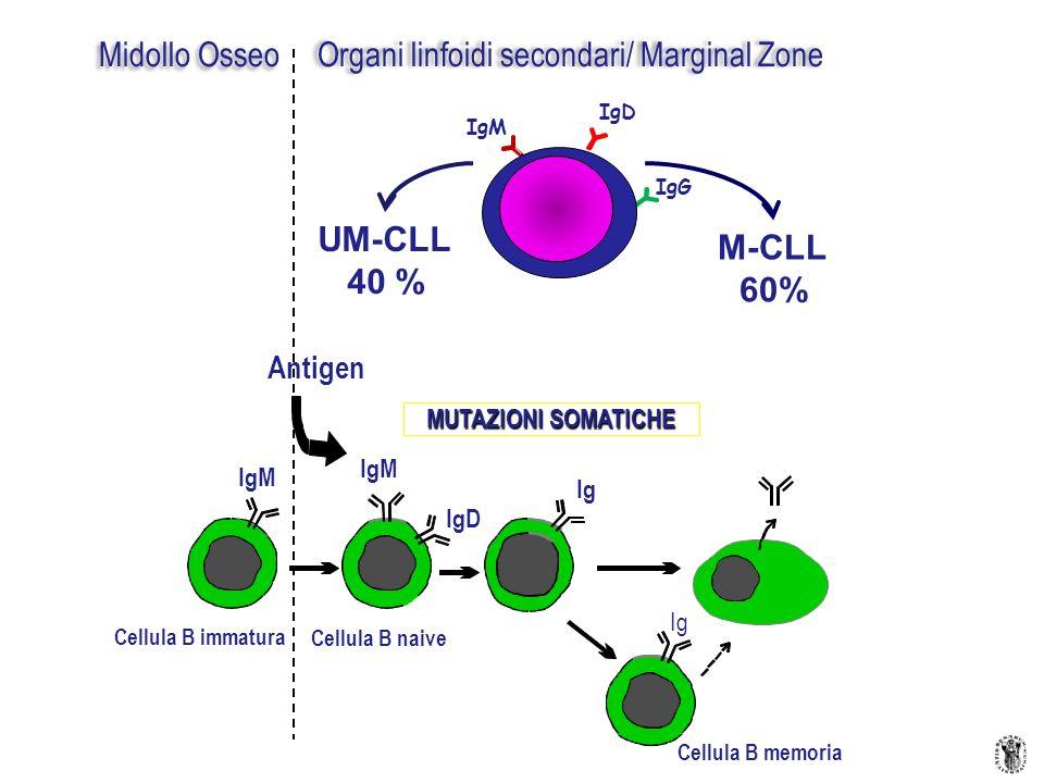 Antigen Ig IgM IgD Ig MUTAZIONI SOMATICHE Cellula B memoria Cellula B immatura Cellula B naive Midollo Osseo Organi linfoidi secondari/ Marginal Zone