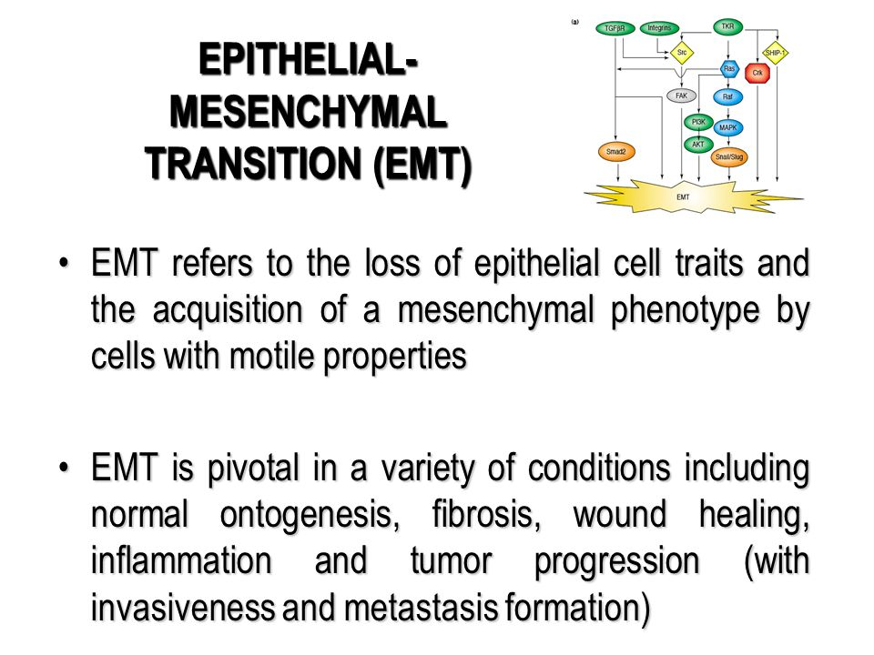 EMT refers to the loss of epithelial cell traits and the acquisition of a mesenchymal phenotype by cells with motile propertiesEMT refers to the loss