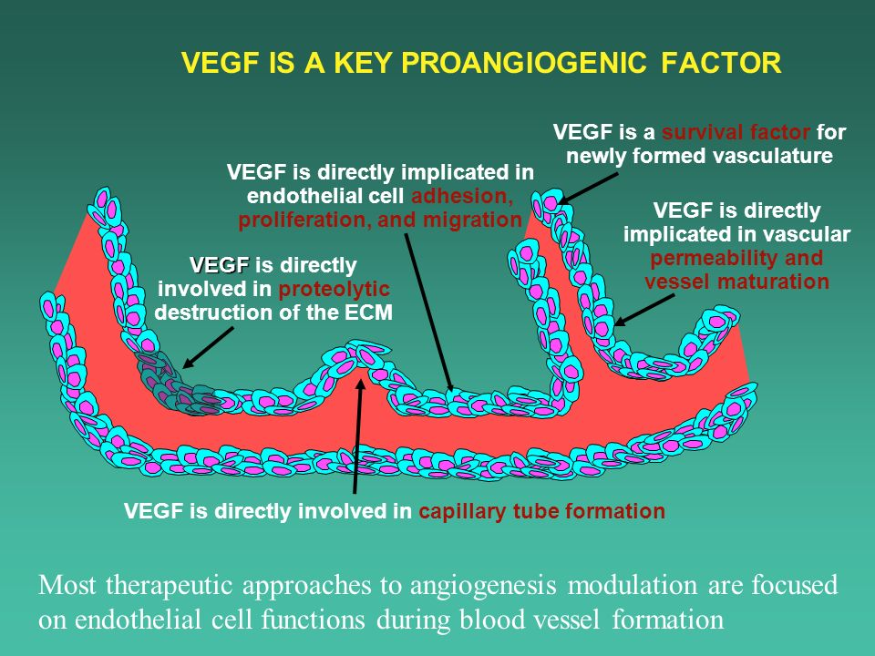 VEGF IS A KEY PROANGIOGENIC FACTOR VEGF is a survival factor for newly formed vasculature VEGF is directly implicated in endothelial cell adhesion, pr