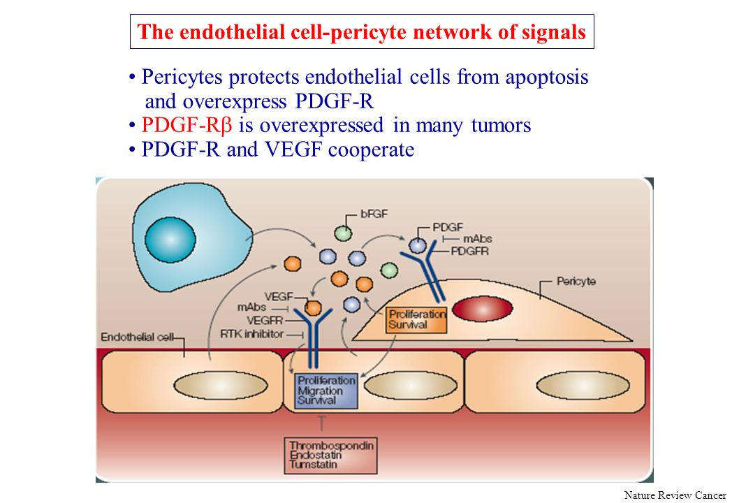 The endothelial cell-pericyte network of signals Nature Review Cancer Pericytes protects endothelial cells from apoptosis and overexpress PDGF-R PDGF-