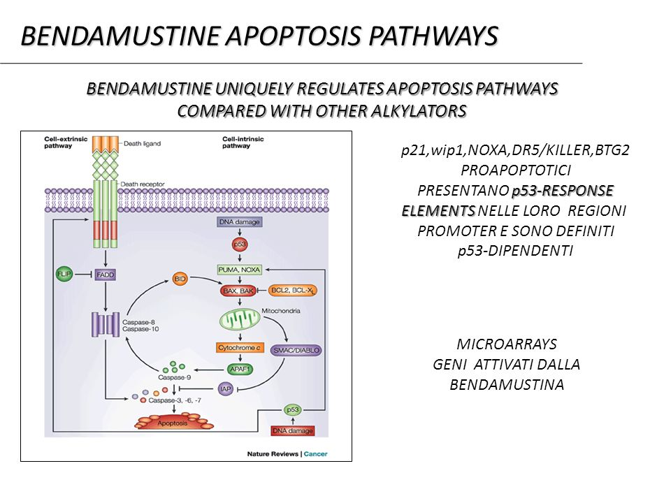 BENDAMUSTINE UNIQUELY REGULATES APOPTOSIS PATHWAYS COMPARED WITH OTHER ALKYLATORS p21,wip1,NOXA,DR5/KILLER,BTG2 PROAPOPTOTICI p53-RESPONSE PRESENTANO