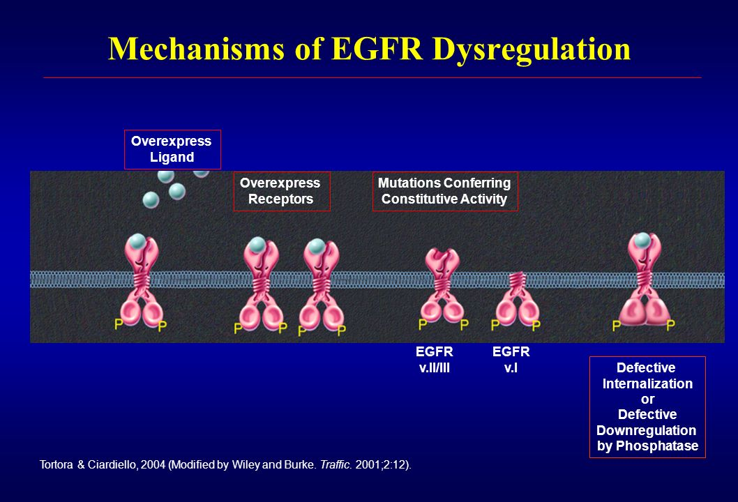 Mechanisms of EGFR Dysregulation Overexpress Ligand Overexpress Receptors Mutations Conferring Constitutive Activity EGFR v.II/III EGFR v.I Defective