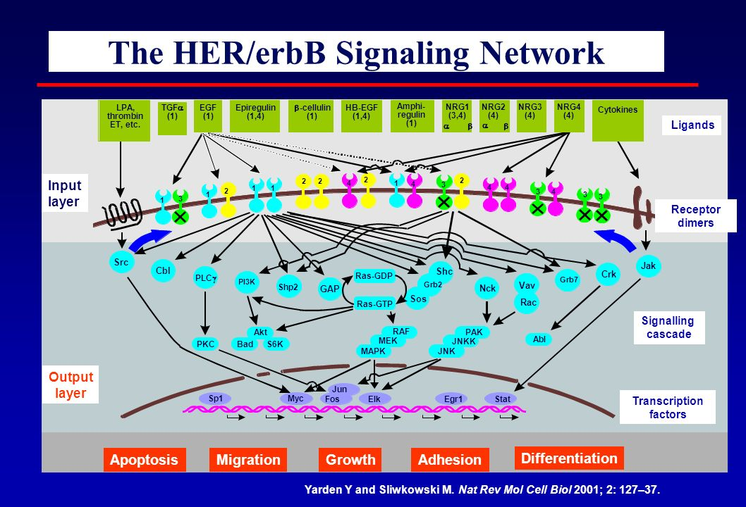 The HER/erbB Signaling Network Yarden Y and Sliwkowski M. Nat Rev Mol Cell Biol 2001; 2: 127–37. Input layer Output layer ApoptosisMigrationGrowthAdhe