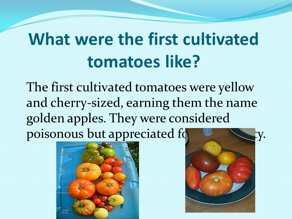 What were the first cultivated tomatoes like? The first cultivated tomatoes were yellow and cherry-sized, earning them the name golden apples. They we