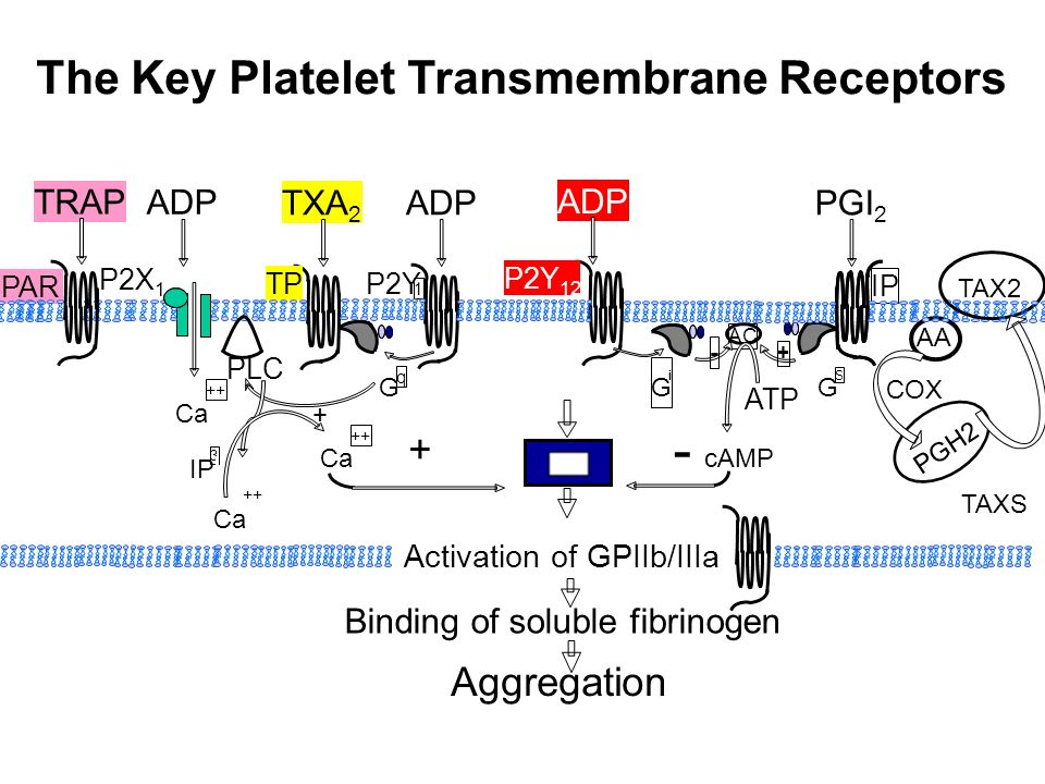 The Key Platelet Transmembrane Receptors AA ADP PGI 2 IP TXA 2 TP PLC Ca ++ ADP G q + IP 3 Ca ++ Ca ++ AC G S + G i - ATP cAMP + - P2X 1 P2Y 1 ADP P2Y