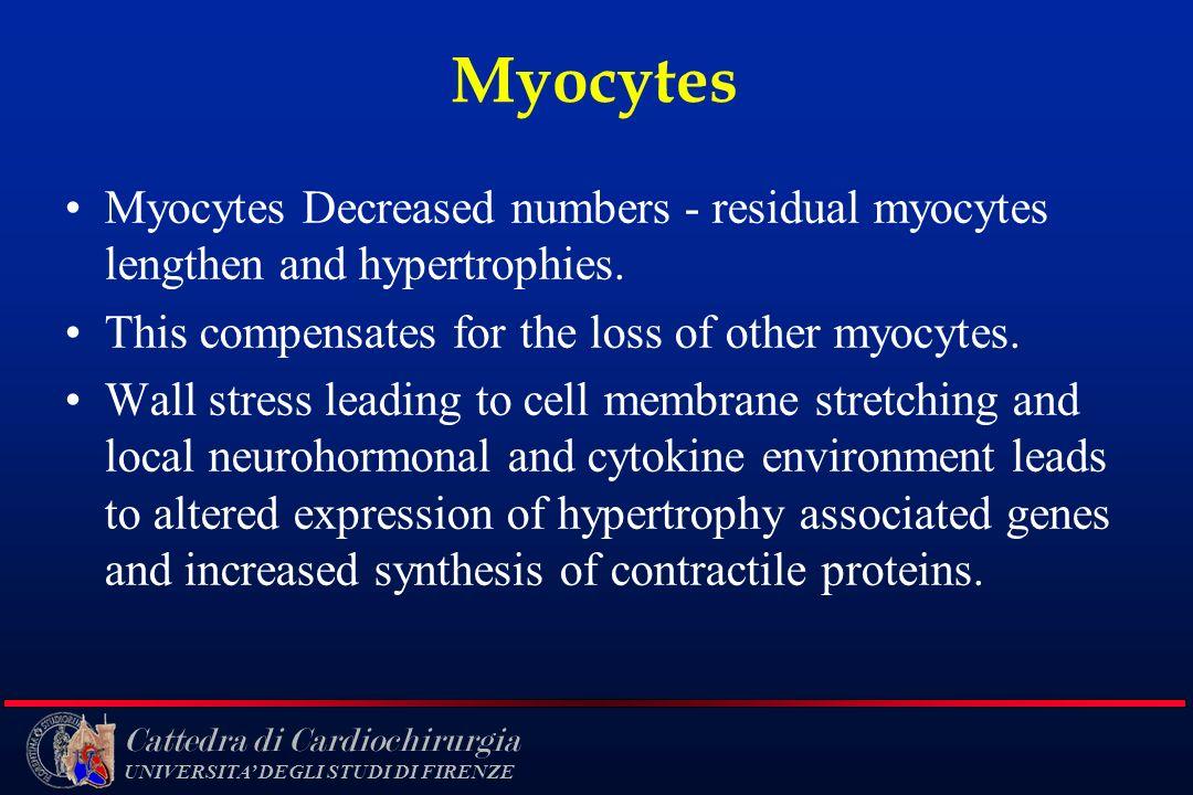 Cattedra di Cardiochirurgia UNIVERSITA DEGLI STUDI DI FIRENZE Myocytes Myocytes Decreased numbers - residual myocytes lengthen and hypertrophies. This