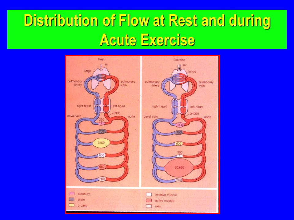 Distribution of Flow at Rest and during Acute Exercise