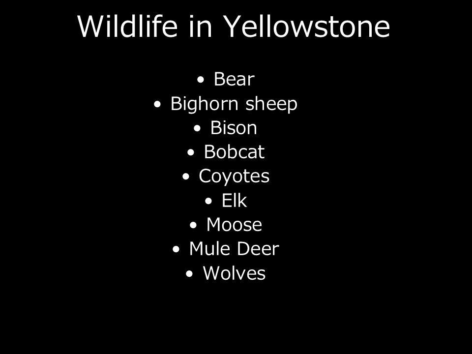 Wildlife in Yellowstone Bear Bighorn sheep Bison Bobcat Coyotes Elk Moose Mule Deer Wolves