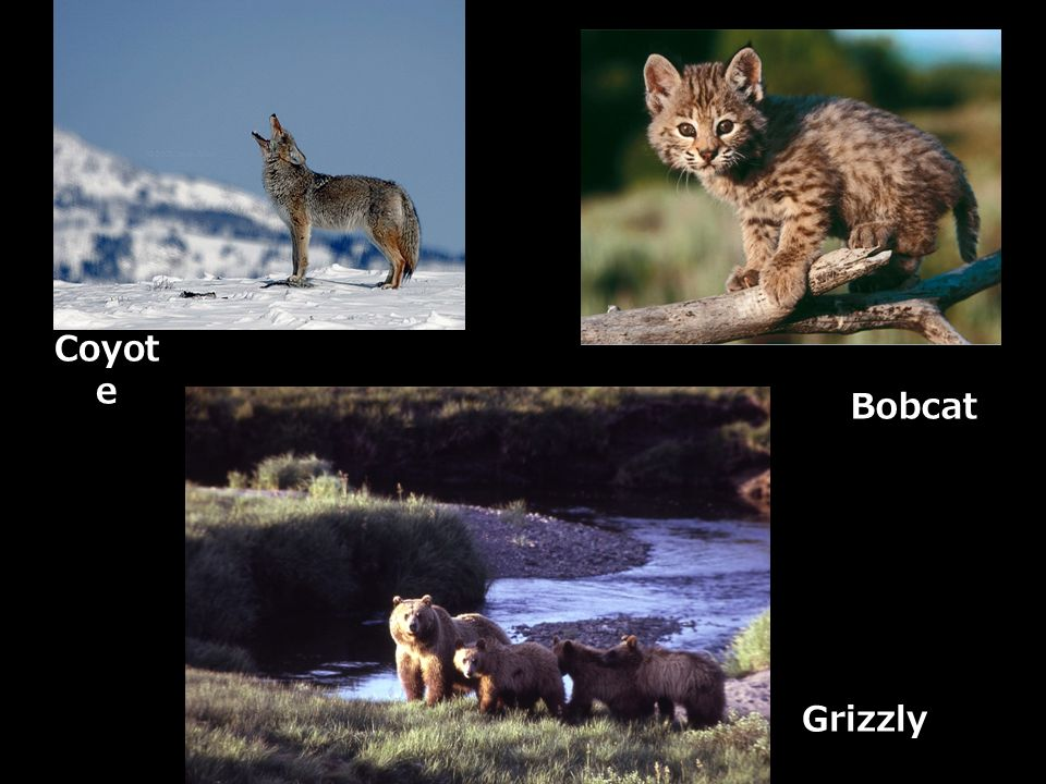 Coyot e Grizzly Bobcat