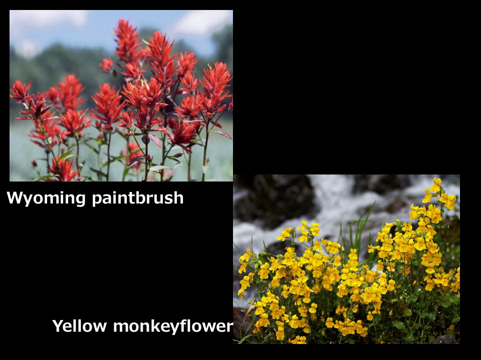 Wyoming paintbrush Yellow monkeyflower