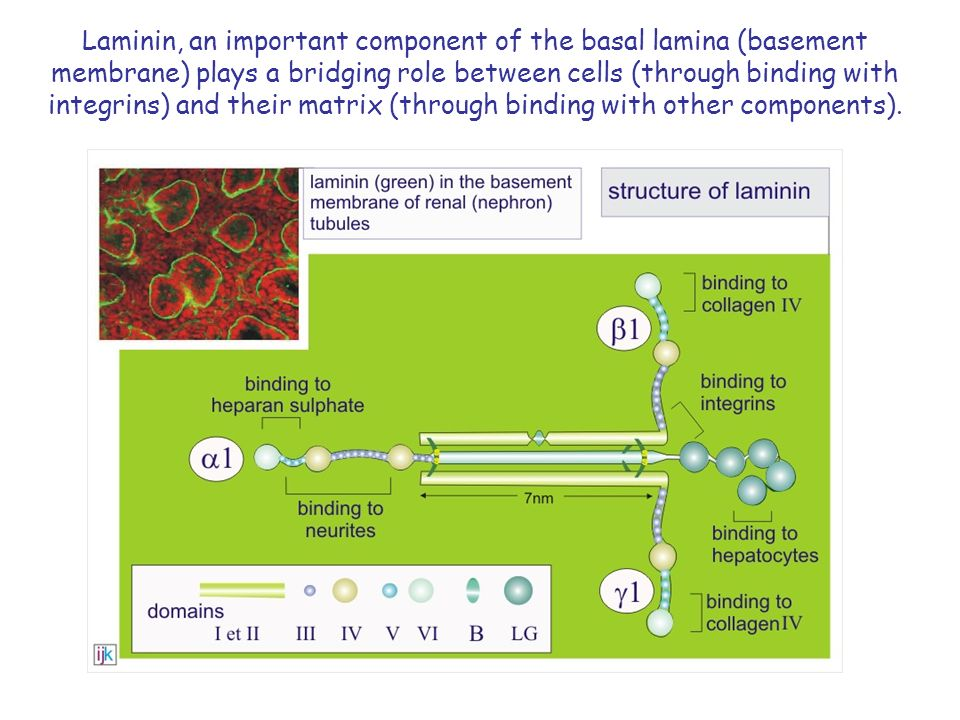 Laminin, an important component of the basal lamina (basement membrane) plays a bridging role between cells (through binding with integrins) and their