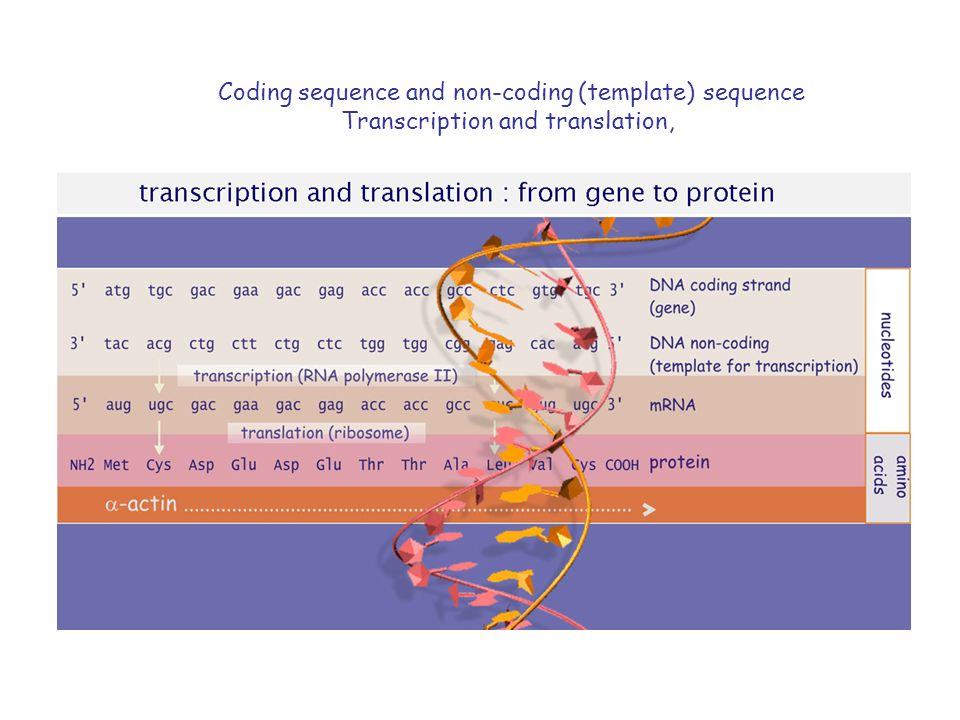 Coding sequence and non-coding (template) sequence Transcription and translation,