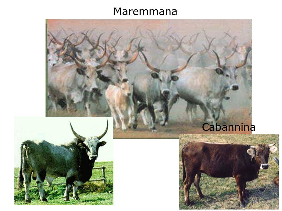 Maremmana Cabannina