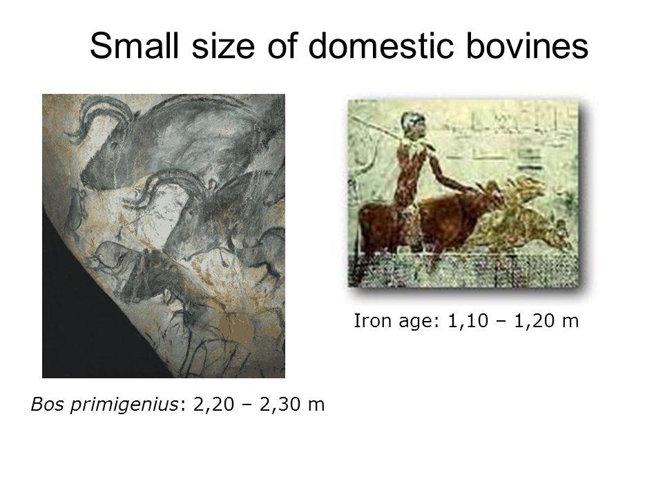 Small size of domestic bovines Bos primigenius: 2,20 – 2,30 m Iron age: 1,10 – 1,20 m