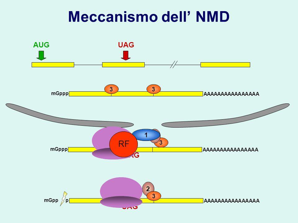 3 2 Meccanismo dell NMD UAGAUG mGppp AAAAAAAAAAAAAAAA 33 2 mGpp p AAAAAAAAAAAAAAAA 3 UAG AAAAAAAAAAAAAAAA mGppp UAG 33 22 1 RF