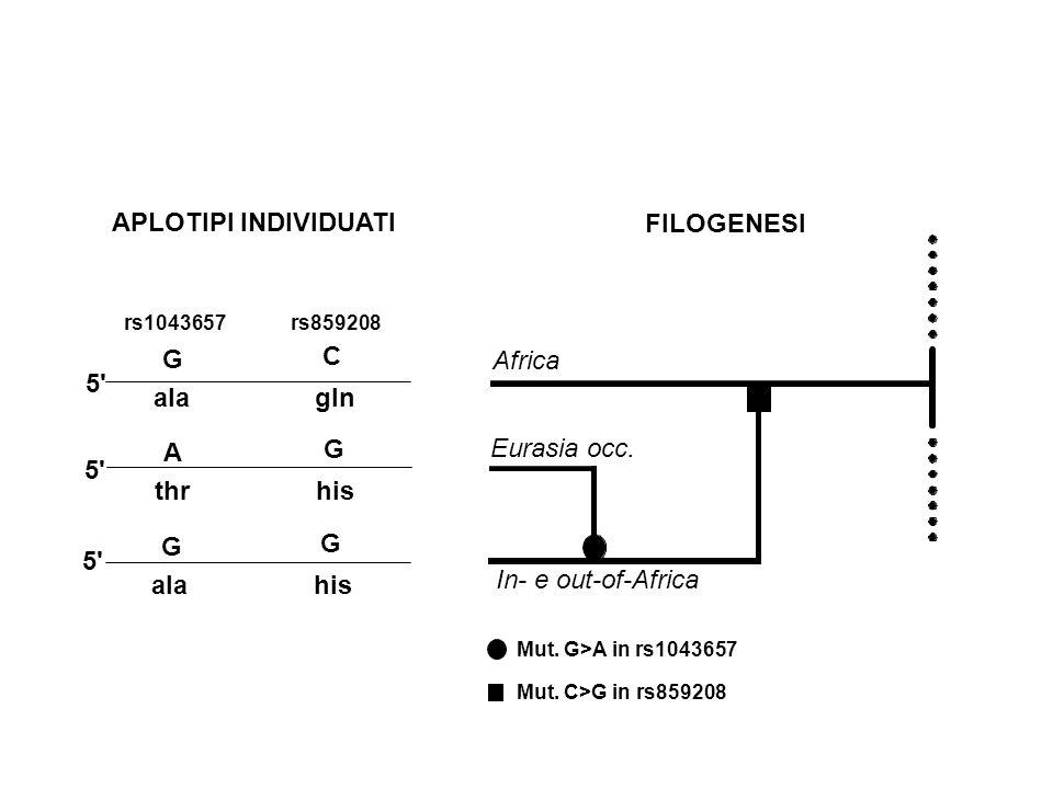 APLOTIPI INDIVIDUATI rs1043657 rs859208 5' G C alagln 5' G G alahis 5' A G thrhis Mut. G>A in rs1043657 Mut. C>G in rs859208 FILOGENESI Africa Eurasia