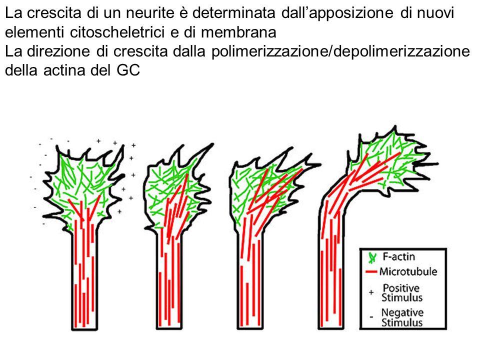 La crescita di un neurite è determinata dallapposizione di nuovi elementi citoscheletrici e di membrana La direzione di crescita dalla polimerizzazione/depolimerizzazione della actina del GC