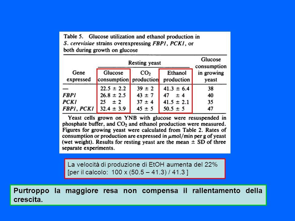 La velocità di produzione di EtOH aumenta del 22% [per il calcolo: 100 x (50.5 – 41.3) / 41.3 ] Purtroppo la maggiore resa non compensa il rallentamen
