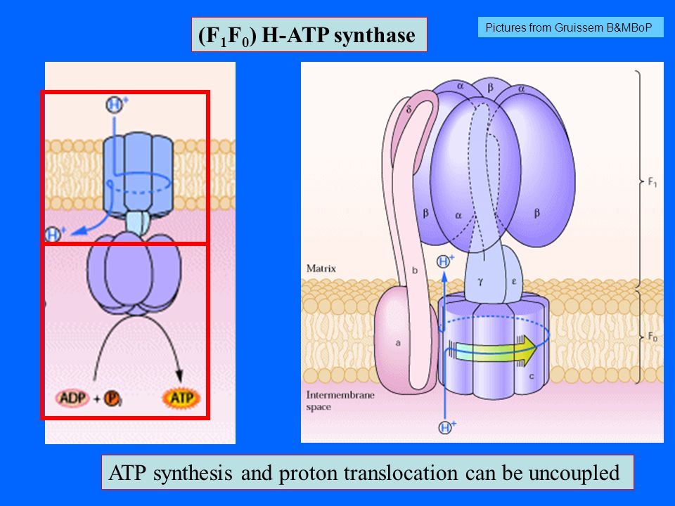(F 1 F 0 ) H-ATP synthase ATP synthesis and proton translocation can be uncoupled Pictures from Gruissem B&MBoP
