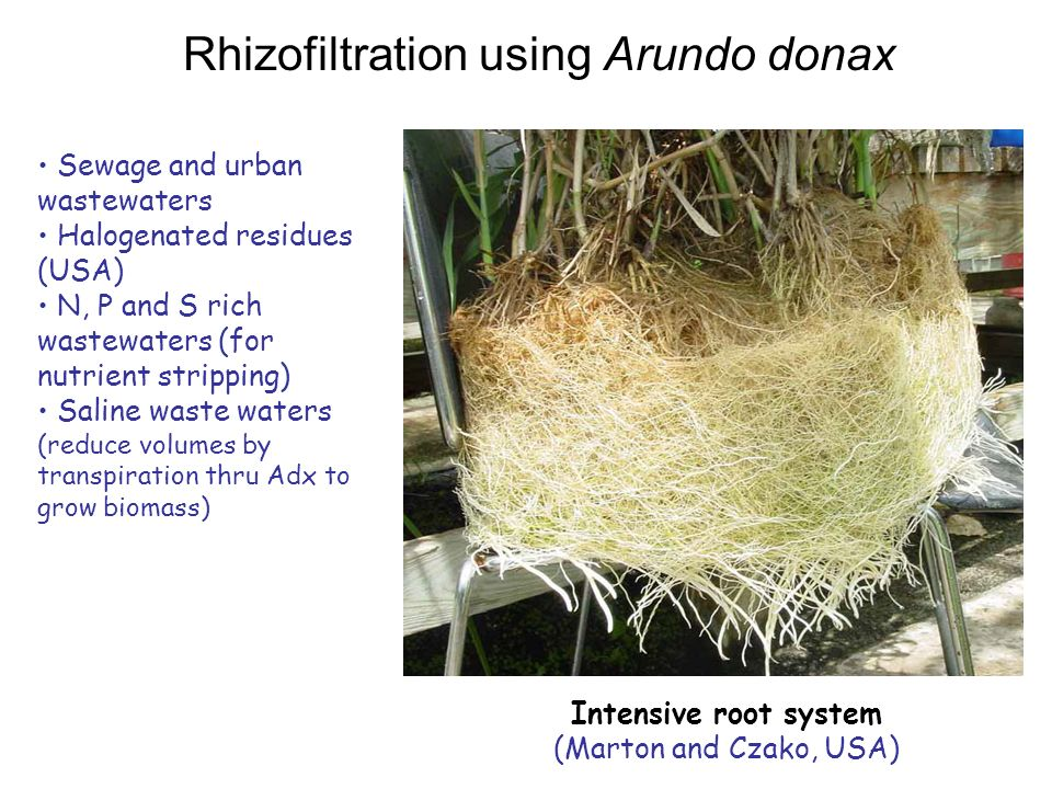 Rhizofiltration using Arundo donax Sewage and urban wastewaters Halogenated residues (USA) N, P and S rich wastewaters (for nutrient stripping) Saline