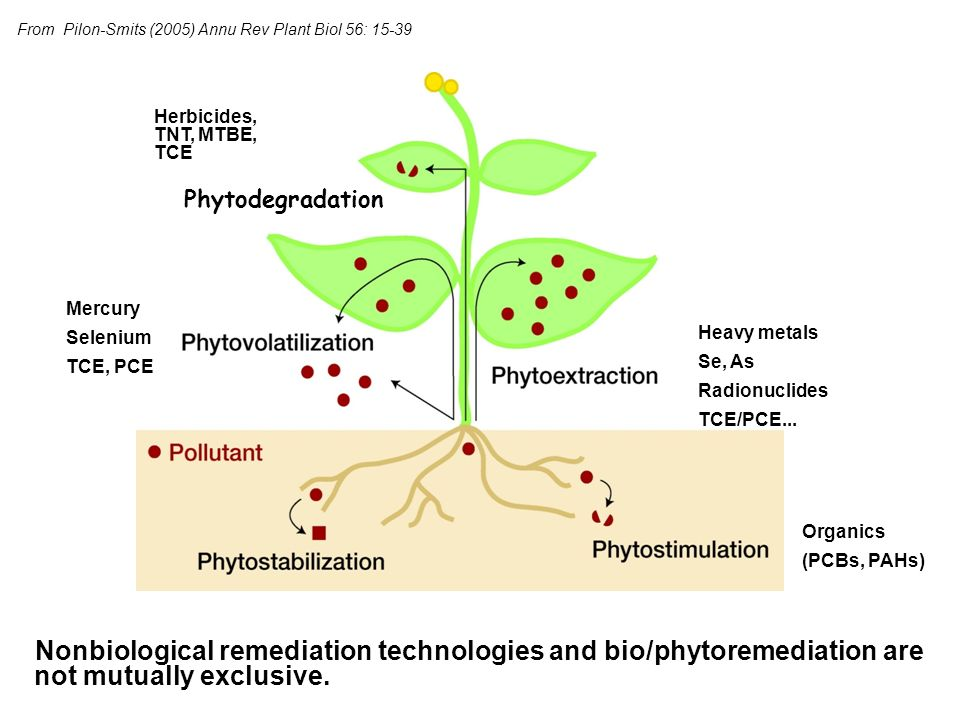 Phytodegradation of TCE, other chlorinated hydrocarbons by hybrid and/or transgenic poplar A MASS BALANCE FIELD TRIAL OF CARBON TETRACHLORIDE PHYTOREMEDIATION USING POPLAR: PHYTODEGRADATION IS THE LIKELY FATE Michael Dossett1, and Xiaoping Wang2, and Stuart E.