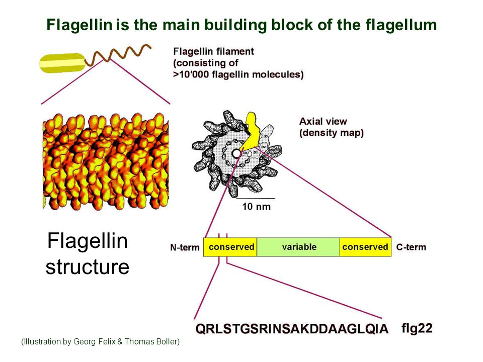 Flagellin is the main building block of the flagellum (Illustration by Georg Felix & Thomas Boller) Flagellin structure