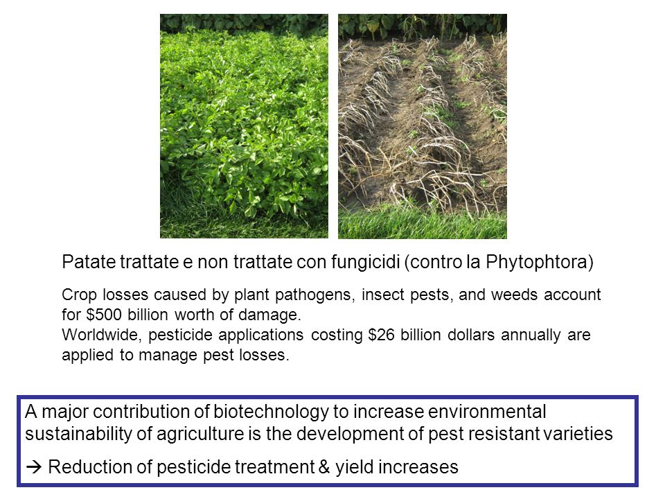 Patate trattate e non trattate con fungicidi (contro la Phytophtora) A major contribution of biotechnology to increase environmental sustainability of