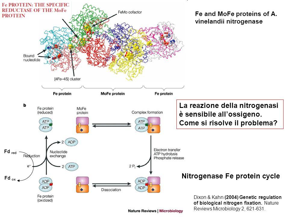 Nitrogenase Fe protein cycle Fe and MoFe proteins of A. vinelandii nitrogenase Dixon & Kahn (2004) Genetic regulation of biological nitrogen fixation.