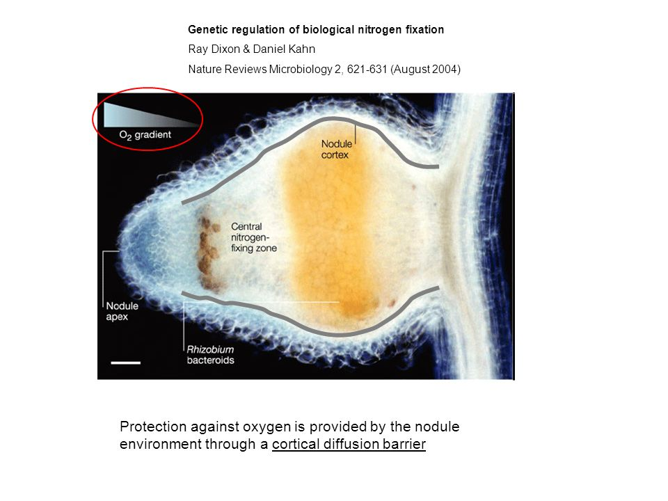 Genetic regulation of biological nitrogen fixation Ray Dixon & Daniel Kahn Nature Reviews Microbiology 2, 621-631 (August 2004) Protection against oxy
