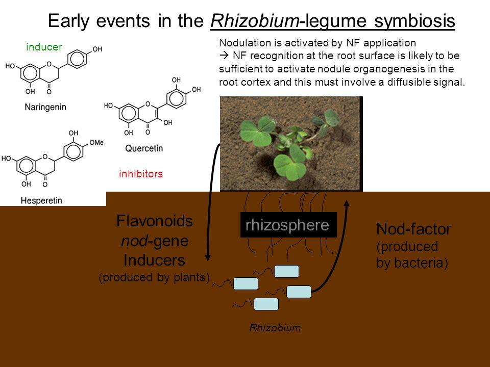 rhizosphere Flavonoids nod-gene Inducers (produced by plants) Nod-factor (produced by bacteria) Early events in the Rhizobium-legume symbiosis Rhizobi