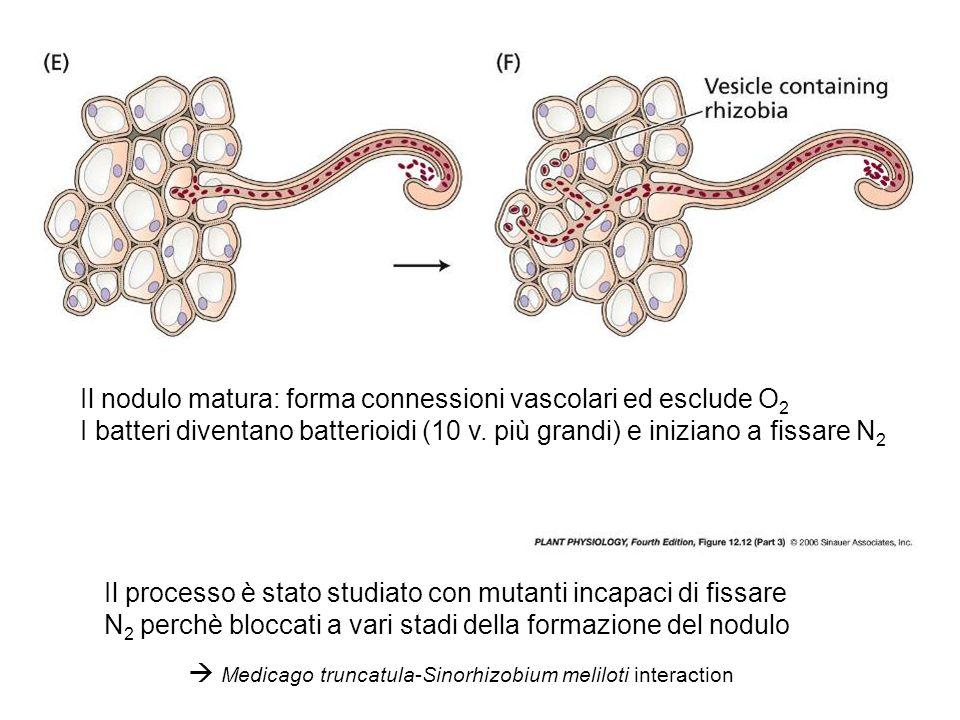 Il nodulo matura: forma connessioni vascolari ed esclude O 2 I batteri diventano batterioidi (10 v. più grandi) e iniziano a fissare N 2 Il processo è