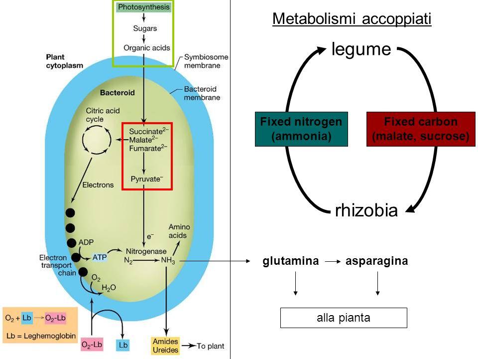 Metabolismi accoppiati glutaminaasparagina alla pianta legume rhizobia Fixed nitrogen (ammonia) Fixed carbon (malate, sucrose)
