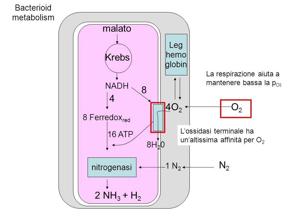 N2N2 Leg hemo globin O2O2 malato 4O 2 Krebs NADH 1 N 2 8 Ferredox red 8H 2 0 16 ATP nitrogenasi 2 NH 3 + H 2 4 8 Bacterioid metabolism La respirazione