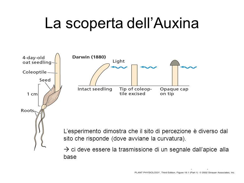 La scoperta dellAuxina Lesperimento dimostra che il sito di percezione è diverso dal sito che risponde (dove avviane la curvatura). ci deve essere la