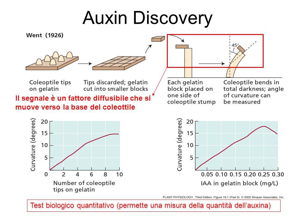 Il segnale è un fattore diffusibile che si muove verso la base del coleottile Test biologico quantitativo (permette una misura della quantità dellauxi