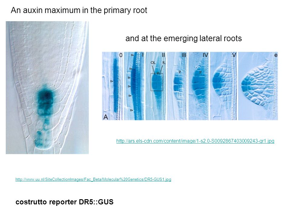 http://www.uu.nl/SiteCollectionImages/Fac_Beta/Molecular%20Genetics/DR5-GUS1.jpg An auxin maximum in the primary root and at the emerging lateral root