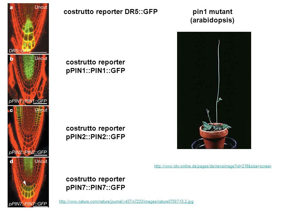 costrutto reporter DR5::GFP costrutto reporter pPIN1::PIN1::GFP costrutto reporter pPIN2::PIN2::GFP costrutto reporter pPIN7::PIN7::GFP http://www.nat