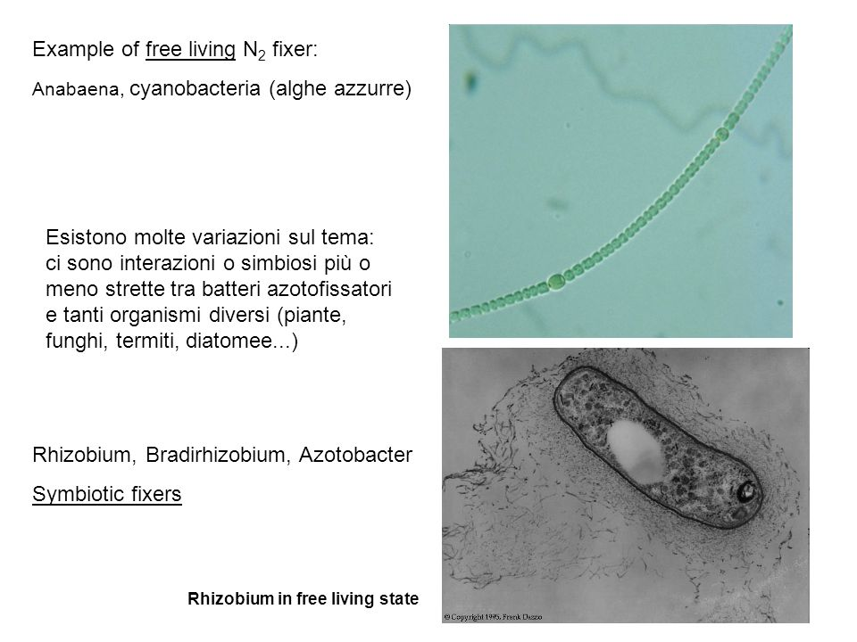 La fissazione dal punto di vista del batterio: tutti fissano lazoto per mezzo della nitrogenasi http://images.tutorvista.com/content/plant-nutrition/nitrogen-fixation-process.jpeg The nitrogenase complex is comprised of two main functional subunits: dinitrogenase reductase (azoferredoxin) and dinitrogenase (molybdoferredoxin) 4 ATP required per pair of electrons transferred