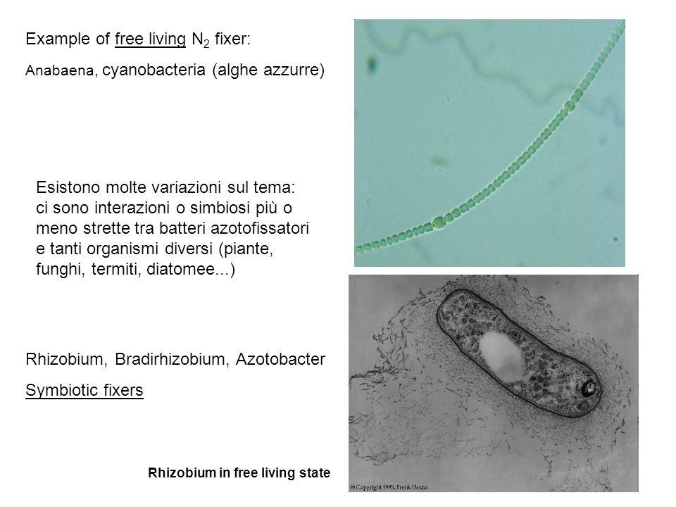 Example of free living N 2 fixer: Anabaena, cyanobacteria (alghe azzurre) Rhizobium, Bradirhizobium, Azotobacter Symbiotic fixers Rhizobium in free li