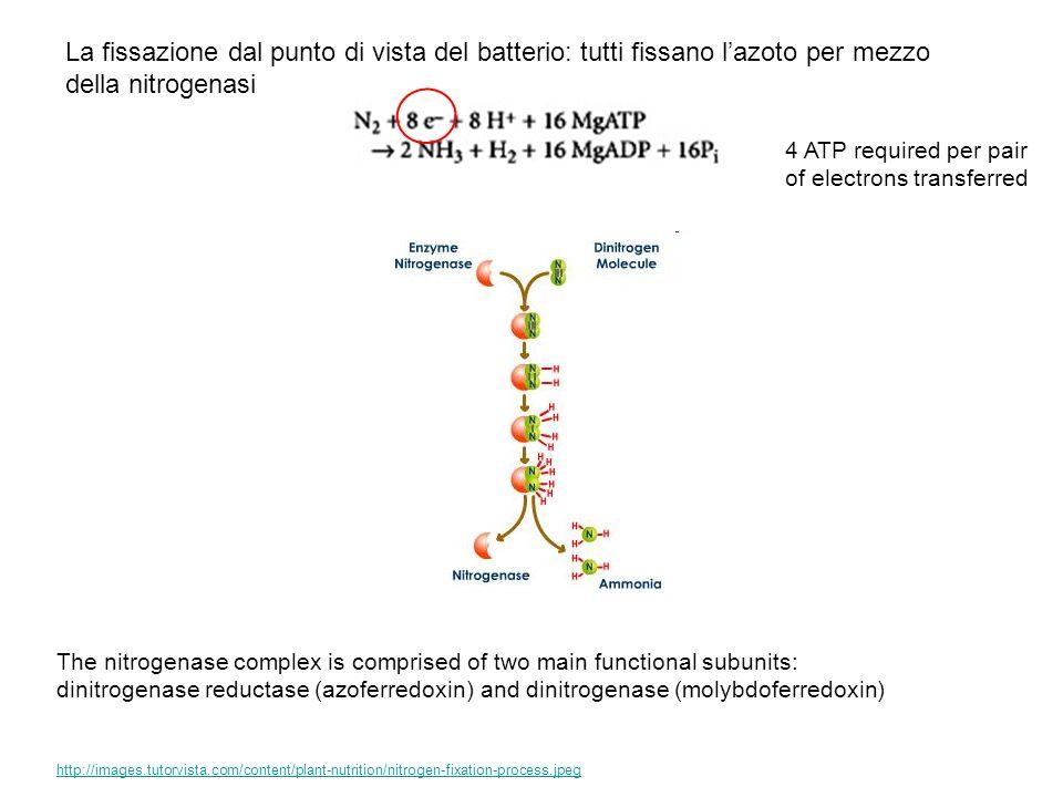 La fissazione dal punto di vista del batterio: tutti fissano lazoto per mezzo della nitrogenasi http://images.tutorvista.com/content/plant-nutrition/n