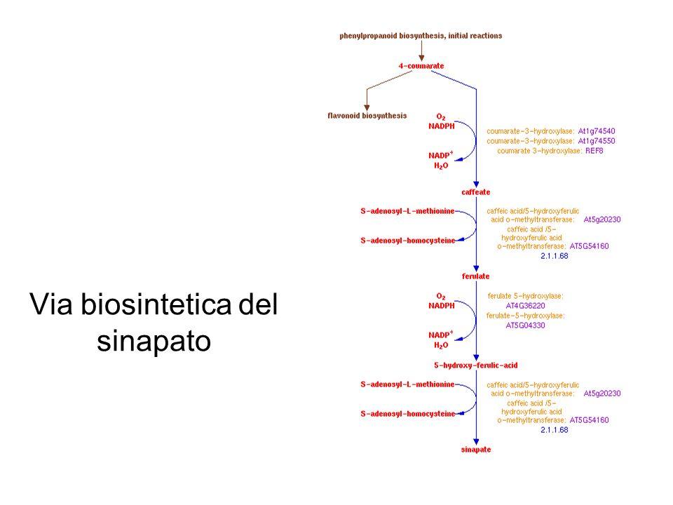 Via biosintetica del sinapato
