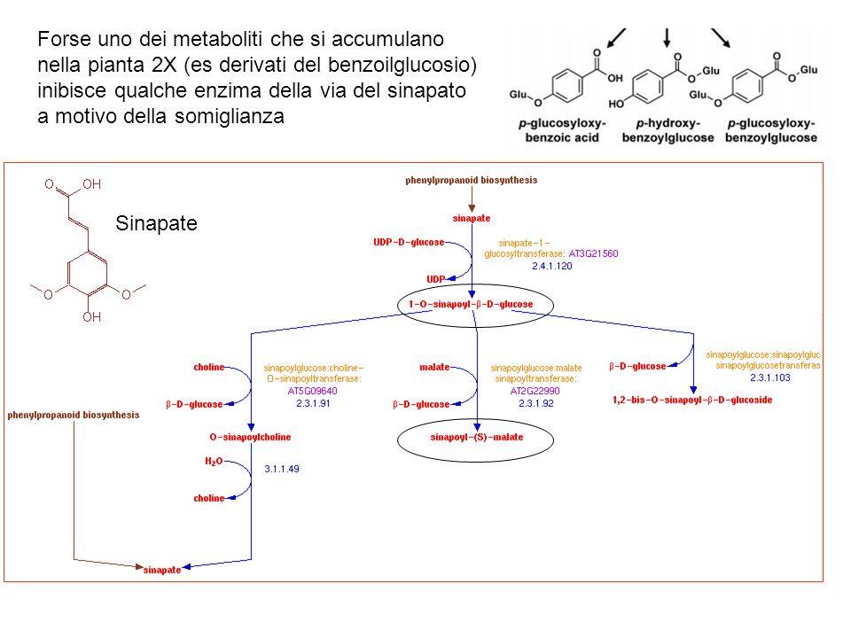 Sinapate Forse uno dei metaboliti che si accumulano nella pianta 2X (es derivati del benzoilglucosio) inibisce qualche enzima della via del sinapato a motivo della somiglianza