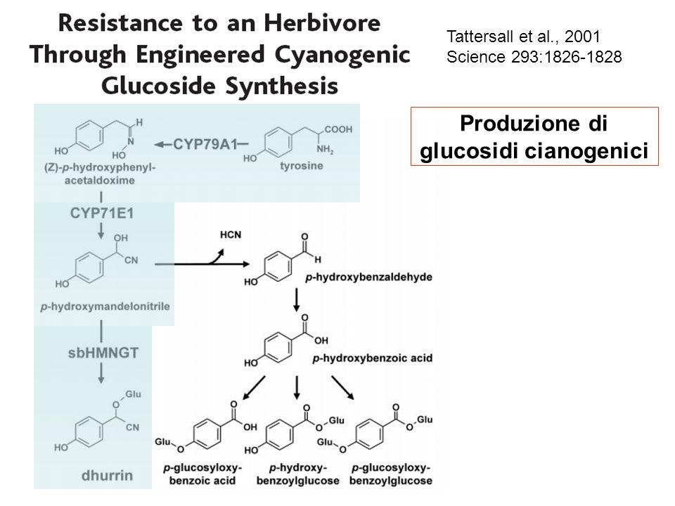 Produzione di glucosidi cianogenici Tattersall et al., 2001 Science 293:1826-1828