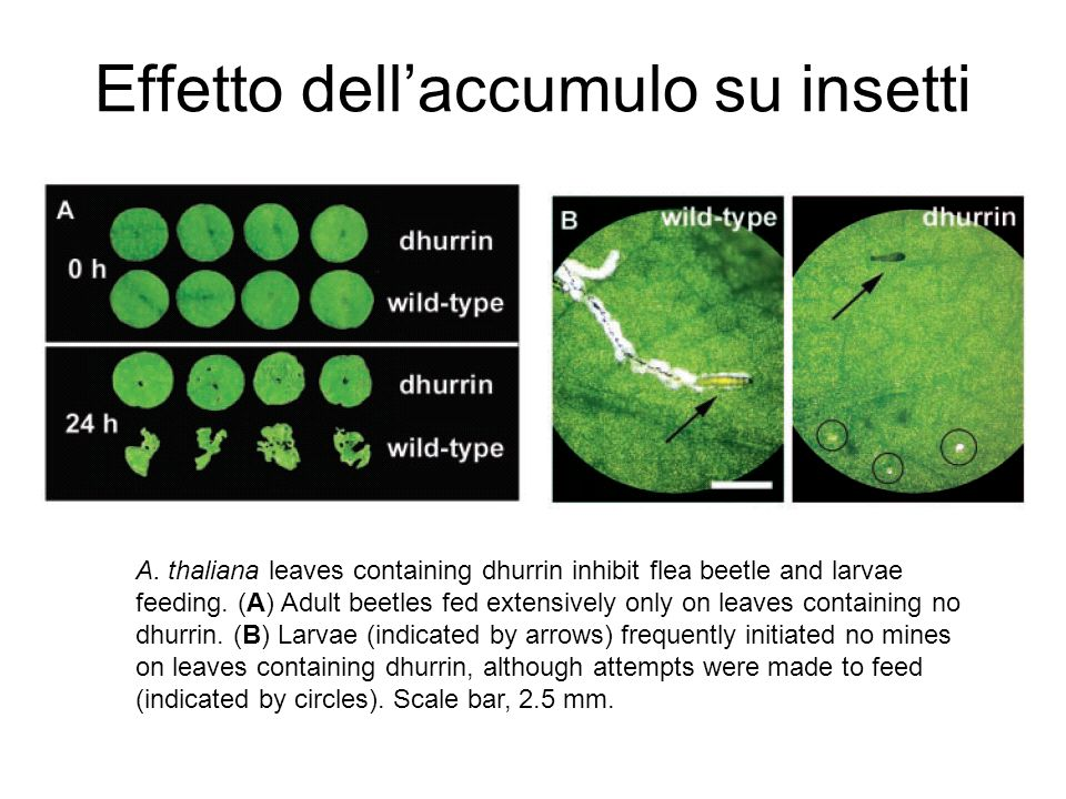 Effetto dellaccumulo su insetti A. thaliana leaves containing dhurrin inhibit flea beetle and larvae feeding. (A) Adult beetles fed extensively only o