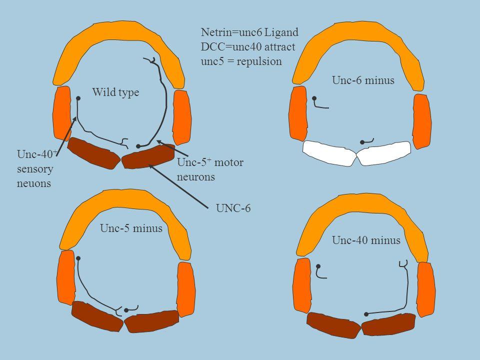Wild type Unc-6 minus Unc-40 minus Unc-5 minus Unc-5 + motor neurons Unc-40 + sensory neuons Netrin=unc6 Ligand DCC=unc40 attract unc5 = repulsion UNC
