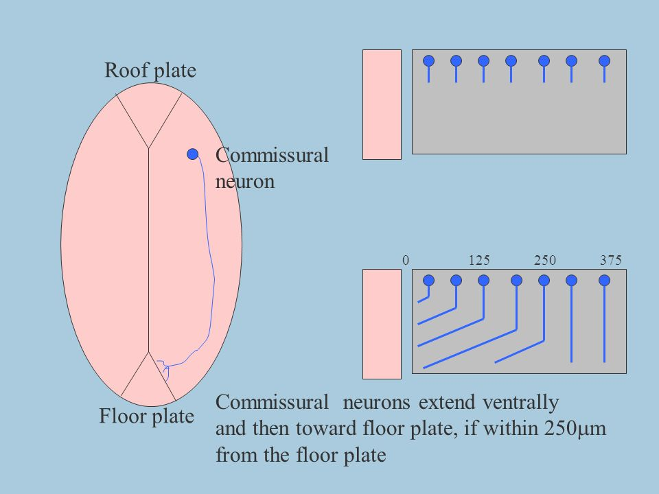 Floor plate Roof plate Commissural neuron 0125250375 Commissural neurons extend ventrally and then toward floor plate, if within 250 m from the floor